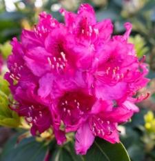 Rhododendron 'Erich'