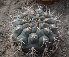 Gymnocalycium bodenbenderianum (Hosseus ex A. Berger) A.W. Hill