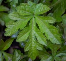 Ampelopsis japonica (Thunb.) Makino