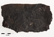 Dicranograptus sp.