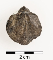 Orthis dorsoplana Frech