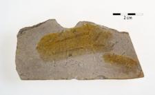 Climacograptus medius Tornq.