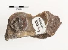 Mzerrebites kiliani Frech 1902 Prolecanites kiliani Frech