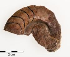 Cyrtoclymenia intracostata n.sp. Frech