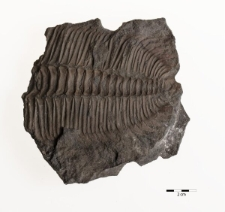 Paradoxides spinosus Boeck 1827