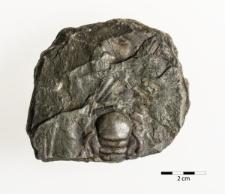 Paradoxides oelandicus Sjögren 1872