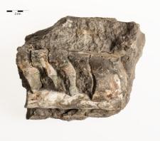 Proterovaginoceras incognitum Schröder 1882