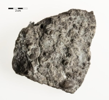 Protochonetes striatellus Dalman 1828