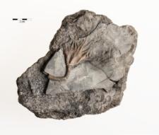 Actinocrinus moniliformis Miller