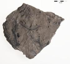 Lycopodiolites sp.