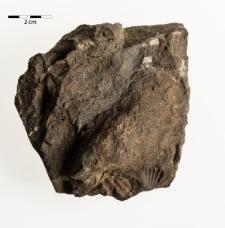 Pterinea fasciculata Goldf.