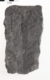 Asterophyllites sp.