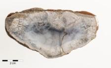 Aulocopium sp.