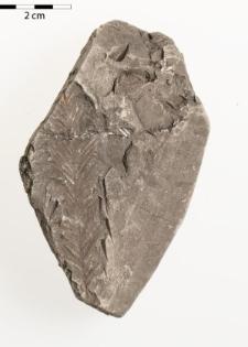 Taxodium dubium (Sternb.) Heer