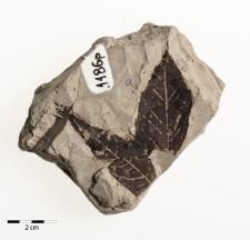 Acer tricuspidatum Bronn
