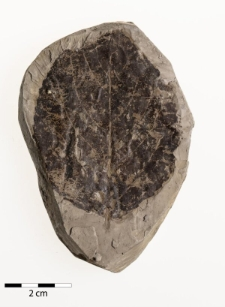 Populus populina (Brongn.) Knobloch