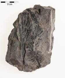 Asterophyllites rigidus