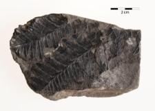 Mariopteris latifolia (Brongniart)