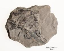 Alethopteris muricata Göpp.