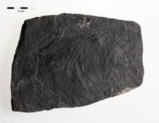 Adiantites giganteus Göpp.