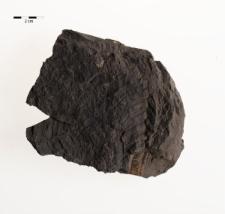 Neuropteris tenuifolia (Schlotheim) Sternberg