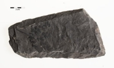 Hymenophyllites alatus Brongniart