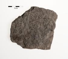 Sphenopteris sp.