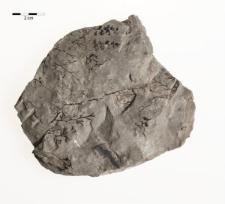 Palmatopteris subgeniculata (Stur) Potonie