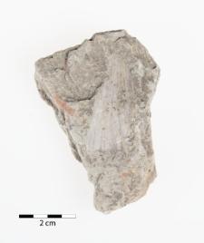 Aviculopinna prisca Münster 1839