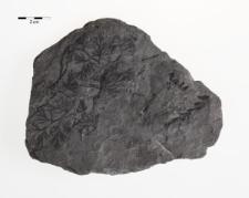 Sphenopteris (Palmatopteris) furcata