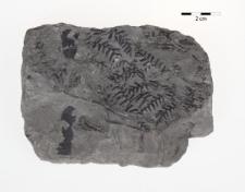 Sphenopteris quercifolia Göpp.