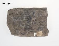 Sphenopteris tridactyllites Brongniart
