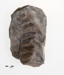 Hymenophyllites sp.