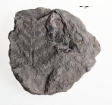 Mariopteris muricata (Schlotheim) Zeiller