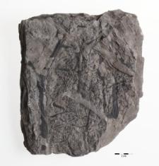 Sphenopteris distans Sternb.