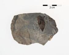 Trigonocarpus schulzianus Goepp.