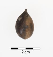 Trigonocarpum sp.