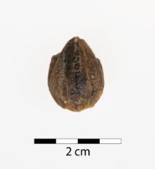 Trigonocarpus starkianus Lesq.