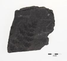 Sphenopteris coemansi Andrae