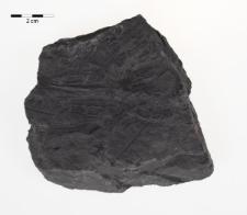 Lonchopteris rugosa Brongniart