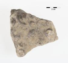 Orthis transversalis