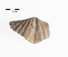 Neospirifer (Neospirifer) moosakhailensis Davidson 1862
