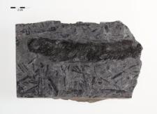 Lepidostrobus sp.