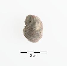Natiria costata Muster 1841