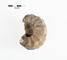 Tainoceras noetlingi Frech
