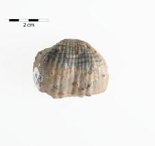 Costiferina subcostata Waagen 1884 (Productus subcostatus)