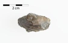 Edmondiella sulcata (Phill.)