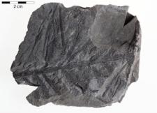Asterophyllites longifolius Sternberg
