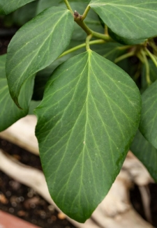 Hedera colchica 'Fall Favourite'