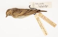 Calandrella brachydactyla
